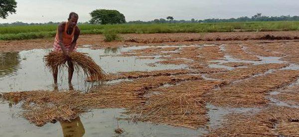 वर्षाले प्रभावित तीन प्रदेशमा ५ अर्ब बढीको धान क्षति