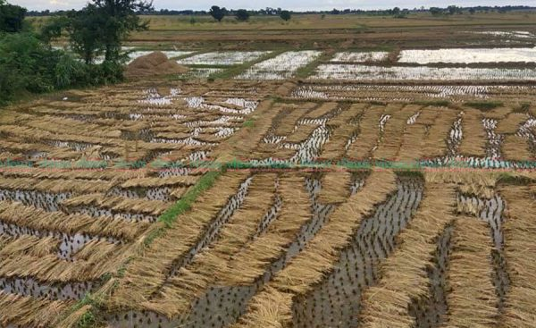 लुम्बिनीमा एक लाख ३० हजार हेक्टरको धानबालीमा क्षति